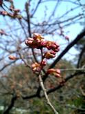 Sakura0312c_2