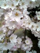 Sakura080329c