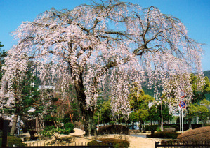 Sakura08a