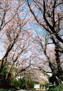 Sakura08b