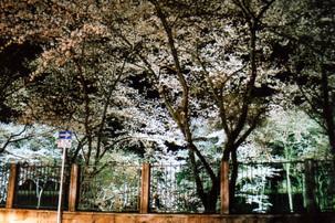 Sakura08c_3