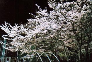 Sakura08d