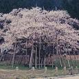 根尾谷の薄墨桜