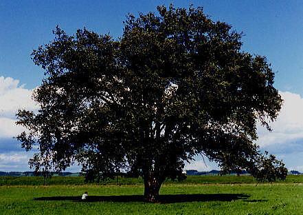 この木何の木初代の木