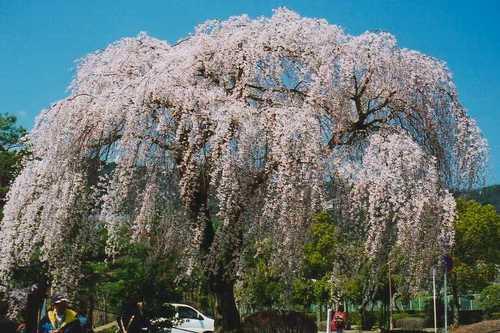 我が家のすぐ近くの枝垂れ桜