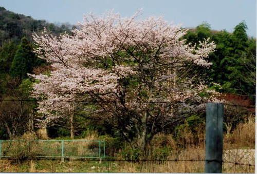鉄条網の向こうの春景色