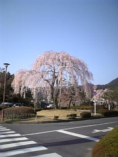 【滋賀】我が家近くの枝垂れ桜2