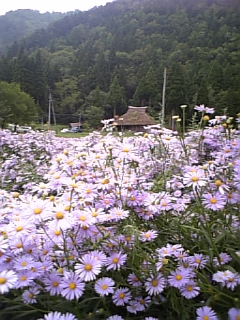 【京都】北山友禅菊摘み取り園