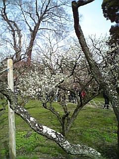 【京都】北野天満宮の梅