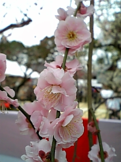 【京都】北野天満宮の梅その2