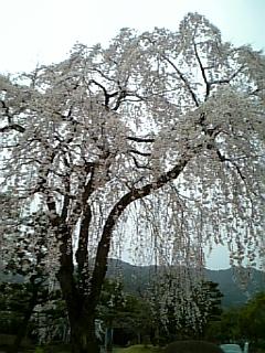 近所の桜 2007/04/01