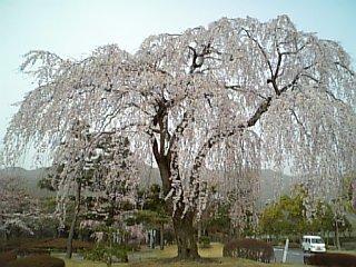 近所の桜 2007/04/02