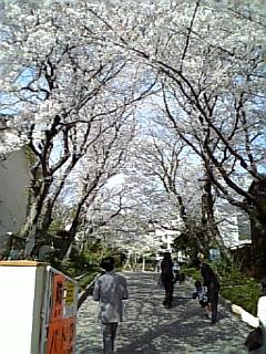 桜、間に合いました(^O^)/