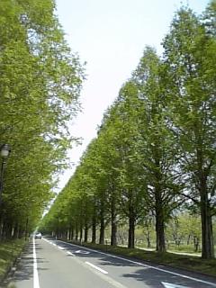 【滋賀】新緑のメタセコイア並木