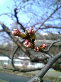 近所の桜(2008/03/27<br />  朝のようす)