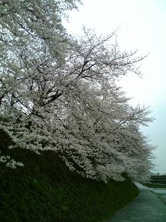 京都の桜(2008/04/02<br />  のようす)