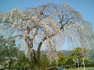 近所の桜(2008/04/03<br />  朝のようす)