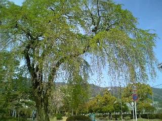 近所の桜(2008/04/15<br />  朝のようす)