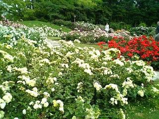 【大阪】靭公園バラ園