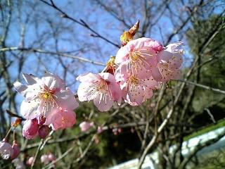 大津にも春が来ましたな〜