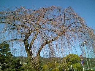 近所の桜(2009/03/24<br />  朝のようす)