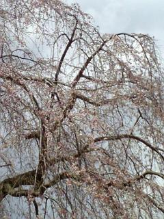 我が家近くの桜(2009/03/25<br />  昼前)
