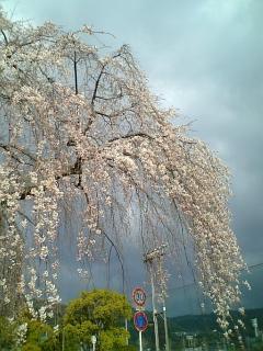 我が家近くの桜(2009/03/27<br />  朝)