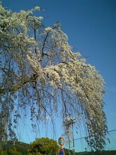 我が家近くの桜(2009/03/30<br />  朝)