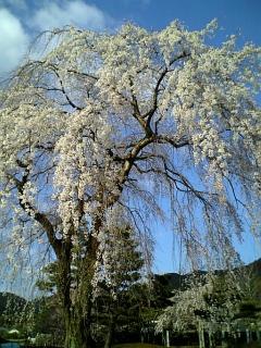 我が家近くの桜(2009/04/02<br />  朝)