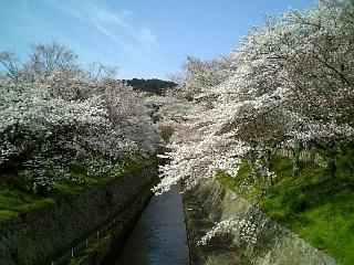 我が家近くの桜(2008/4/8<br />  朝の)