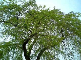 我が家近くの桜(2009/4/16<br />  朝)