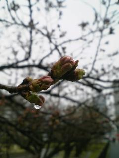 今朝の桜(2010/03/24<br />  のようす)