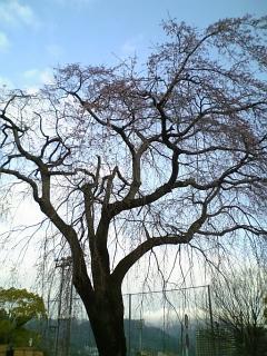 今朝の桜 (2010/3/26<br />  のようす)