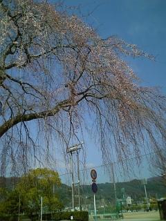 今朝の桜(2010/3/27<br />  のようす)