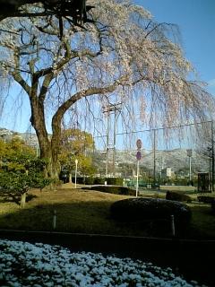 今朝の桜 (2010/3/30<br />  のようす)