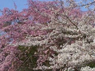 今朝の桜(2010/4/4<br />  のようす)