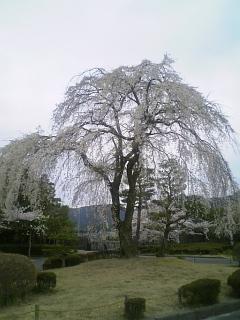 今朝の桜(2010/4/9<br />  のようす)