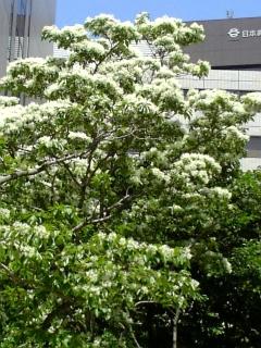 【大阪】ナンジャモンジャの木
