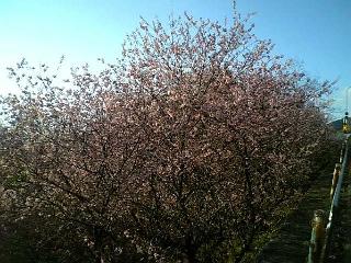 皇子ヶ丘公園のハツミヨザクラ