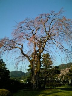 我が家近くの桜(2011/4/6)