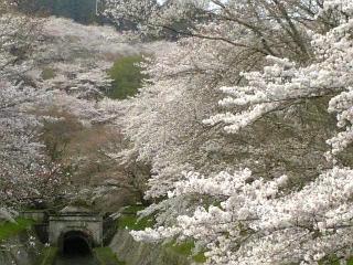 【滋賀】我が家近くの桜