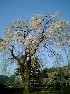 我が家近くの桜