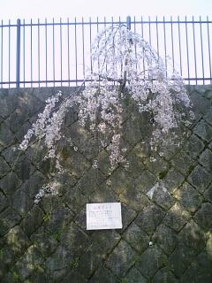 人呼んで応援桜 #otsu #shiga