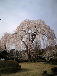 Sakura200610
